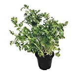 Koriander Gewürzpflanze im großen Topf - frisches Korianderkraut in feinster Gärtnerqualität - aromatisches und würziges Küchenkraut - kräftige Kräuter