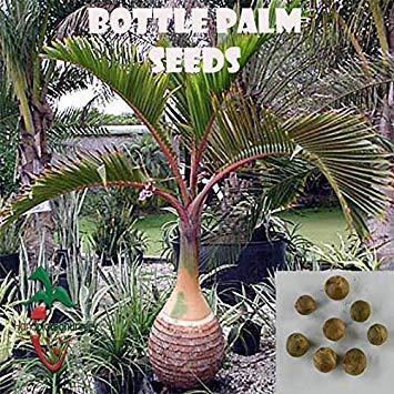 Samen Keimung: 10 Bottle Palm Samen, (Hyophorbe lagenicaulis) von Hand gepflückt Nursery (Von Hand Gepflückt)