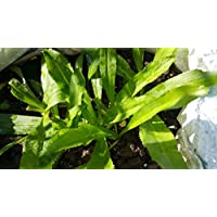 100+ Seeds Culantro, Long coriander, Sawtooth coriander , Recao , Mexican coriander, Thai Parsley , Ngo gai BY Ooobies Live seed Garden