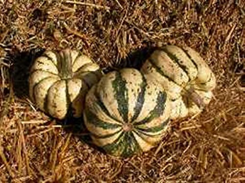 heritage-heirloom-winter-squash-10-organic-seeds-sweet-dumpling-patty-doux-potiron-pumpkin-dark-gree