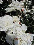 Bodendeckerrose Sea Foam® - Rosa Sea Foam® - weiß mit zartrosa - Preis nach Stückzahl 10 Stück