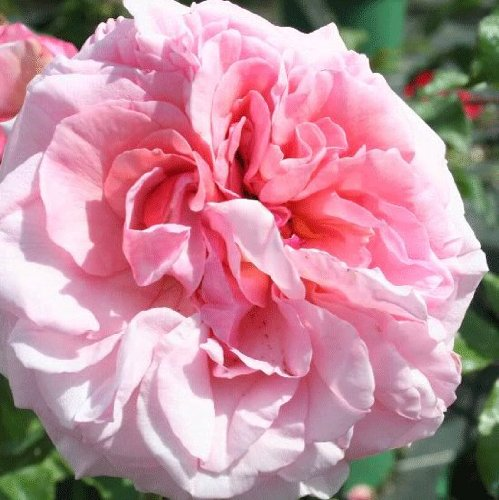Rosa Climbing Rose 'ALOHA' Plant