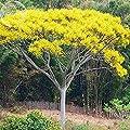 Pinkdose2018 Heißer Schizolobium parahyba Gelbe Jacaranda Riesen Brasilianischen Feuer Farn Baum, 2 Samen, Zier Baum E3955 von Pinkdose® auf Gartenmöbel von Du und Dein Garten
