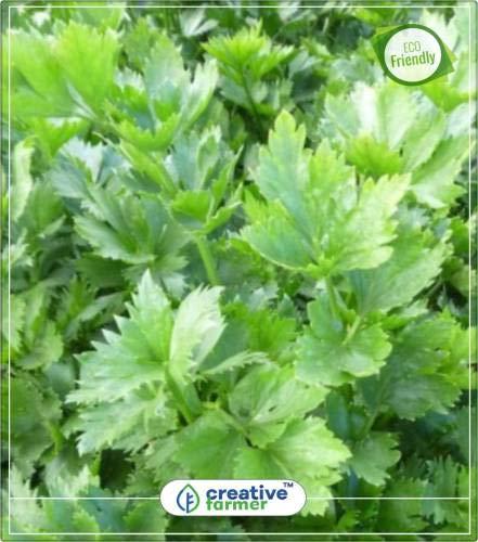 ShopMeeko SEED Le Sellerie (Exotic Hybrid Gemüsesamen) Samen für Gemüsegarten...