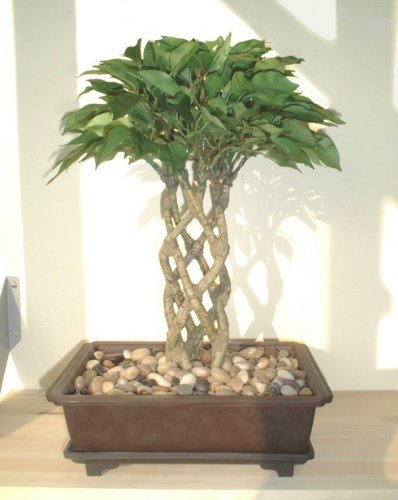 Ficus Bonsai (38cm) - Albero Artificiale (SENZA VASO)