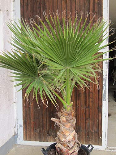 Palmenst. Echtpflanze, Washingtonia robusta - mexikanische Fächerpalme ca. 30-40 cm (907910057)