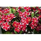 Adenium arabicum Red Hybrids Mix - - 3 semillas