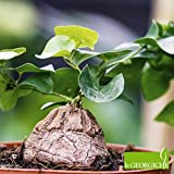 Dioscorea elephantipes (Zampa di Elefante) [Vaso Ø10cm]