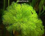 Wasserflora Riesenambulia oder Wasser-Sumpffreund