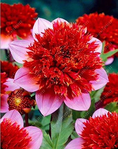 Véritable ampoules Dahlia, Dahlia Fleur, bonsaï bulbes de fleurs, Graines de dahlia (non), vivaces plantes en pot bulbe Racine pour jardin 2 pcs 8