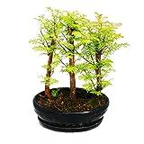 Outdoor-Bonsai - Metasequoia glyptostroboides - kleiner Wald mit 3 Pflanzen