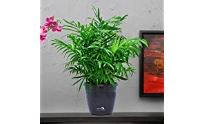 Nurturing Green (ORIGINAL SELLER : NurturingGreen ; Others selling FAKE plant) Air purifying NASA recommended Chamaedorea Palm Plant in Black Pot for home (Live Indoor Dwarf Areca Palm Plant with pot for living room, bedroom, office, table top etc)