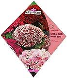 Royal Fleur - Semilla Clavel de los poetas Doble Variado 1cor.
