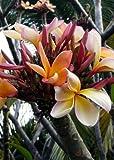 TROPICA - Frangipani (Plumeria rubra L.) - 5 Samen