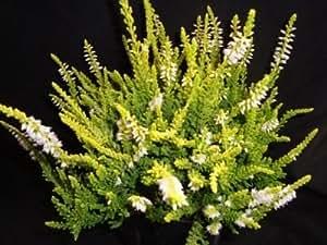 9cm Pot Heather Callunavulgaris'Gold Mist' White Late Summer Flowering Plant