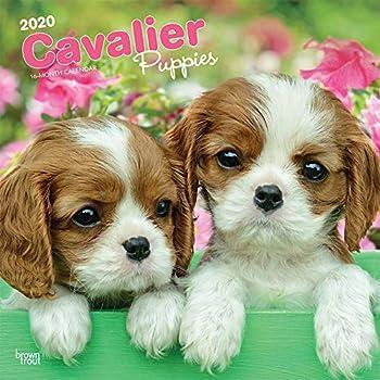 Cavalier King Charles Spaniel Puppies 2020 Calendar
