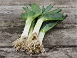 VEGETABLE LEEK MUSSELBURGH 1600 FINEST SEEDS VERY HARDY