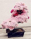 10PCS Rare Sakura Bonsai Fiore Cherry Blossoms Fiore di ciliegio Ornamentali Bonsai Bonsai Piante per la casa e Giardino: 3