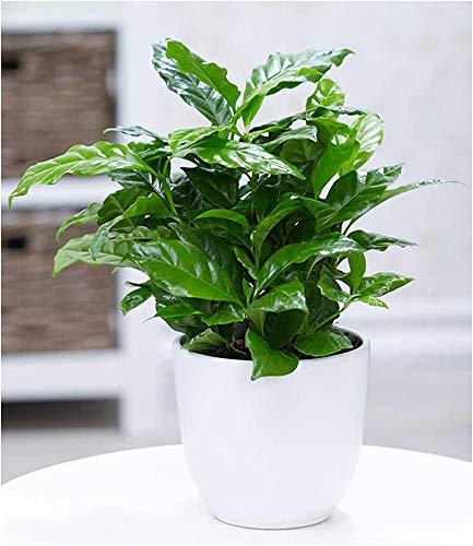 BALDUR-Garten Coffea arabica, 1 Pflanze Kaffeestrauch Zimmerpflanze