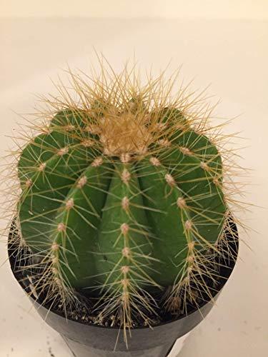 NSAMEN: Ballon Cactus/Kaktus ()