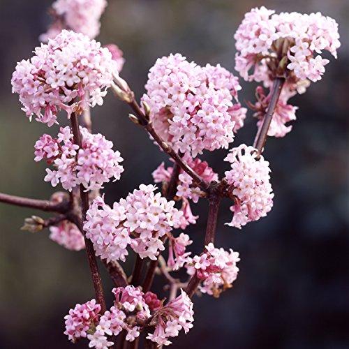Dominik Blumen und Pflanzen, Duft-Winterschneeball, Viburnum x bodnantense, rosa blühend, 1 Strauch, 2-3 triebig, 30 - 40 cm hoch, plus 1 Paar Handschuhe gratis