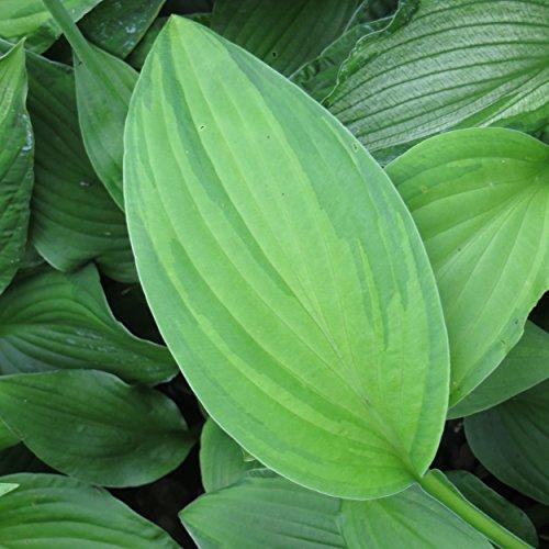 Blumixx Stauden Hosta x fortunei 'Albopicta' - Funkie, Hosta x fortunei 'Aureomaculata' - Herzblattlilie, im 1,0 Liter Topf, violett blühend