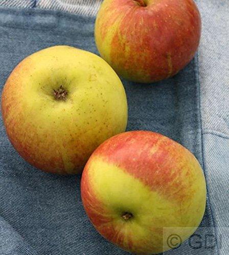 Apfelbaum Geflammter Kardinal 60-80cm – saftig und knackig