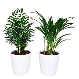 BOTANICLY | 2 × Pianta da interno – Mix di palma d'oro e di palma montagna in vasi esclusivi (Diablo bianco) | Altezza: 40 cm | Areca, Chamaedorea