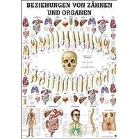 Beziehungen von Zähnen und Organen Mini-Poster Anatomie 34x24 cm med. Lehrmittel