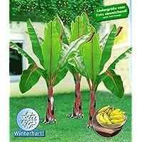 BALDUR-Garten Winterharte Bananen Pflanze 'rot', 1 Pflanze Musa Basjoo Red Bananenbaum