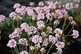 Armeria x juniperifolia 'Röschen' - 2 Pflanzen im 0,5 lt. Vierecktopf