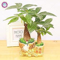 1pcs Pachira Samen Pachira Macrocarpa Geld-Baum Bonsai-Baum-Samen Perennial Topfpflanze DIY für Hausgarten