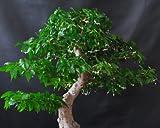 Buddha Baum / Pappel Feige (Ficus religiosa) - 100 Samen(mindestens) !!