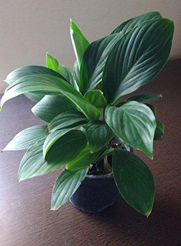 Plants Guru Peace Lily Spathiphyllum