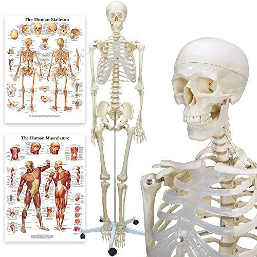 Skelette und anatomische Modelle Test - Pwigmbh