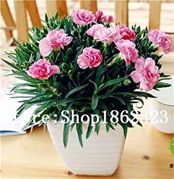 . 200 pc garofano bonsai dei semi semi di fiore in vaso balcone giardino perenne fiori dianthus caryophyllus piante purificano l'aria: 14