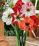 Amaryllis Lilly Flower Bulbs (2 Bulbs) by Kraft Seeds