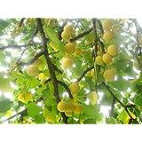 Al aire libre jardín planta Ginkgo Biloba–árbol de Maidenhair 1fuerte planta Envía en una olla 8cm