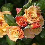 Kletterrose Moonlight in Kupfer-Gelb - Rosa - Kletter-Rose winterhart & duftend - Pflanze für Rankhilfe wurzelnackt/Wurzelware von Garten Schlüter - Pflanzen in Top Qualität