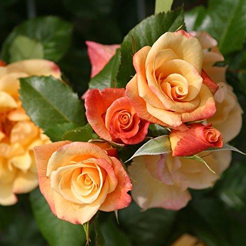 Kletterrose Moonlight in Kupfer-Gelb - Rosa - Kletter-Rose winterhart & duftend - Pflanze für Rankhilfe im 5 Liter Container von Garten Schlüter - Pflanzen in Top Qualität