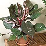 AGROBITS Philodendron Erubescens Bonsai-Pflanze, 10, 100 Stück Buy1 Get 1