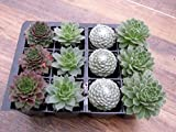 A Collection of 12 Sempervivum Plants 4 varieties