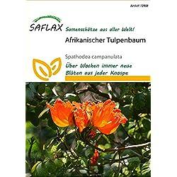 Exotische Samen - Afrikanischer Tulpenbaum von Saflax