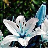 bulbos de lirio verdadero, flor del lirio, lirio (no semillas, bulbos de flores) lilium, olor débil, plantas de maceta bonsai para el jardín de los bulbos 15 -2