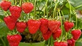 #2: Kitchen Garden Hub Strawberry Fruit Seeds - Pack of 50