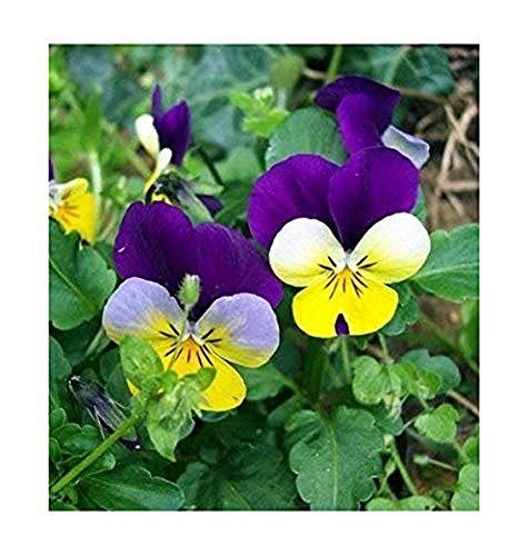 Wilde Stiefmütterchen - Viola tricolor - Viola Johnny Jump Up - 200 Samen