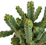 Euphorbia debilispina - Wolfsmilchgewächs aus Tansania - pflegeleichte Sukkulente/Zimmerpflanze für das helle Fensterbrett oder Terrarium