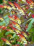 Portal Cool Mina Lobata Schöne schnell wachsende Kletterpflanze! Jungle Queen, Zimmerpflanze oder im Freien