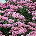 Fetthenne Carl - Sedum spectabile Carl - Frühblühende Fetthenne mit kompakten Wuchs von Native Plants - Du und dein Garten