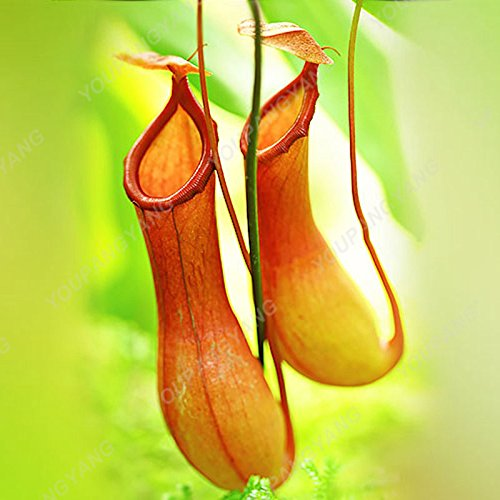 50 pièces / Lot Multifarious Graines Nepenthes Plante carnivore Bonsai Dionaea géant clip Graine Dionée plante dans le jardin rouge